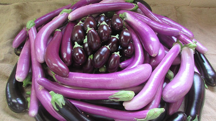 Vineland reports findings on commercial potential for eggplant varieties
