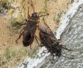 Elm Seed Bugs Found in Idaho