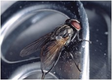 UF Discovers House Flies Carrying Five New Illness-Causing Bacteria