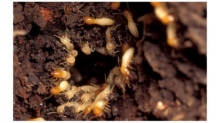 Formosan Termites Discovered in NW Louisiana