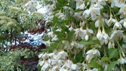 New weeping Styrax japonica
