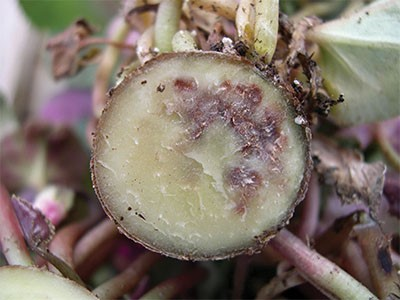 Calling in the biological team: Control of Fusarium