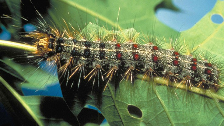 Gypsy moth damage closes section of I-95 in Connecticut