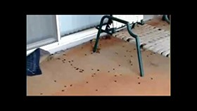 Video: Thousands of Roaches Invade Hawaii Neighborhood
