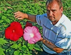 Researcher works to create unique, winter-hardy hibiscus