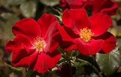Proven Winners ColorChoice adds Home Run rose to lineup