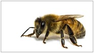 Glyphosate and Acetamiprid Have Relatively Low Toxicity for Honey Bees, Study Finds