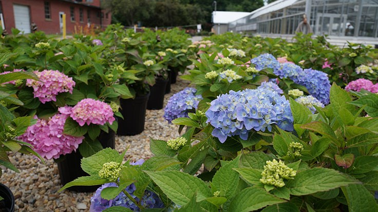 The secret to blue hydrangeas