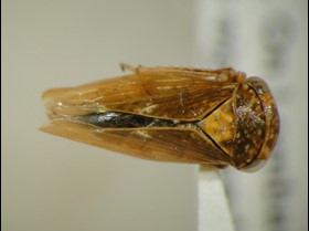 Invasive Wasp Discovered in Southern California
