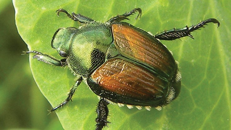 Colorado proposes Japanese beetle quarantine changes