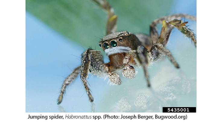Jumping Spiders Can Distinguish the Color Red in Their Prey
