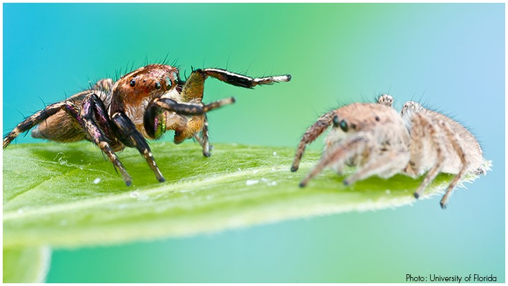 Male Jumping Spiders Court Whomever, Whenever; Females Decide Who Lives, Dies