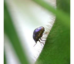 Biocontrol Agent Tested to Battle Invasive Kudzu Bug