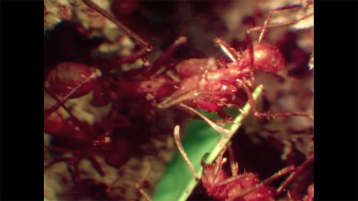 Video Documents How Leafcutter Ants Do Their Work