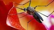 Researchers Study How Mosquitoes Sniff Out Their Victims