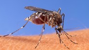 Mosquito-Borne Virus May Cause Brain Swelling, Death