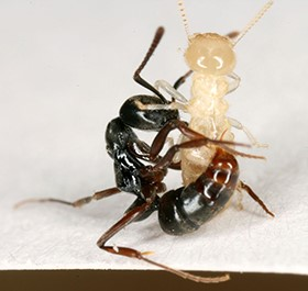 Asian Needle Ant Pushing Out Argentine Ant, Researchers Find