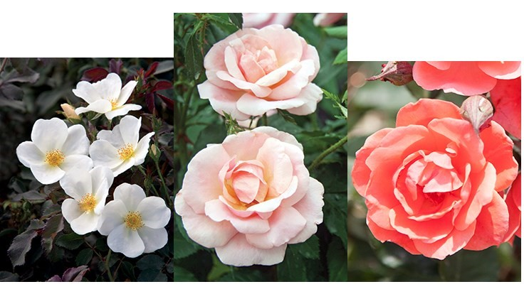 Star Roses and Plants introduces three new Knock Out Roses