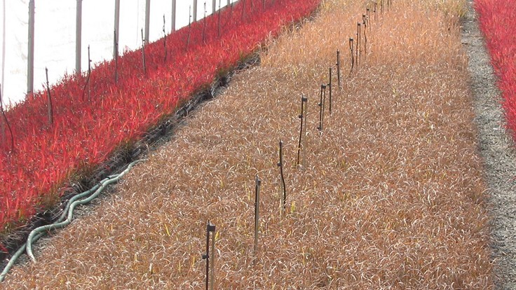 5 tips for overwintering grasses