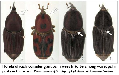 Florida issues pest alert for palm pests