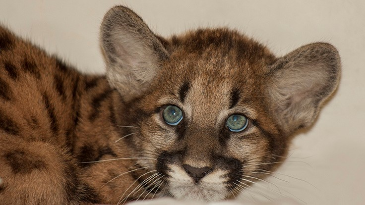 Endangered Florida panther kitten discovered at Sakata Research Station