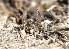 Videos: New Clips of Tiny Wasps Attacking Ants
