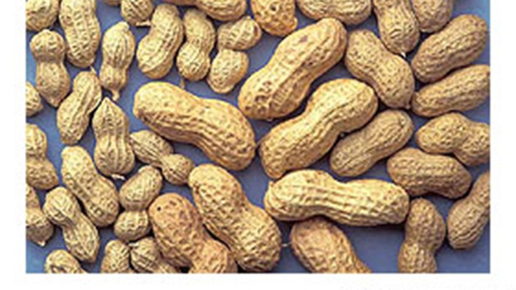 Allergen-Free Peanuts a USDA-Highlighted Accomplishment