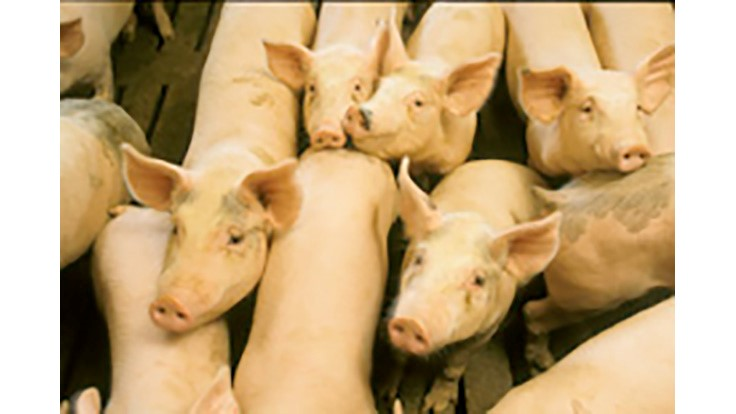 Salmonella Vaccine Reduces Animal Disease and Foodborne Illness