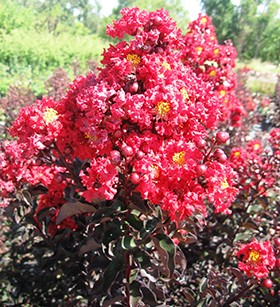 Black Diamond Crapemyrtles, 'Crimson Red'