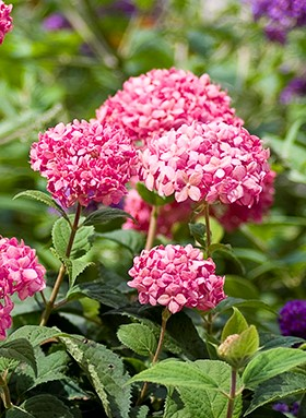 Proven Winners ColorChoice Shrubs funds breast cancer researcher
