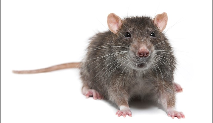 Rats Invade California School, Introduce Rodent Mites
