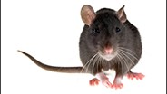 Cornell Research: Disease-Carrying Fleas Abound on NYC's Rats