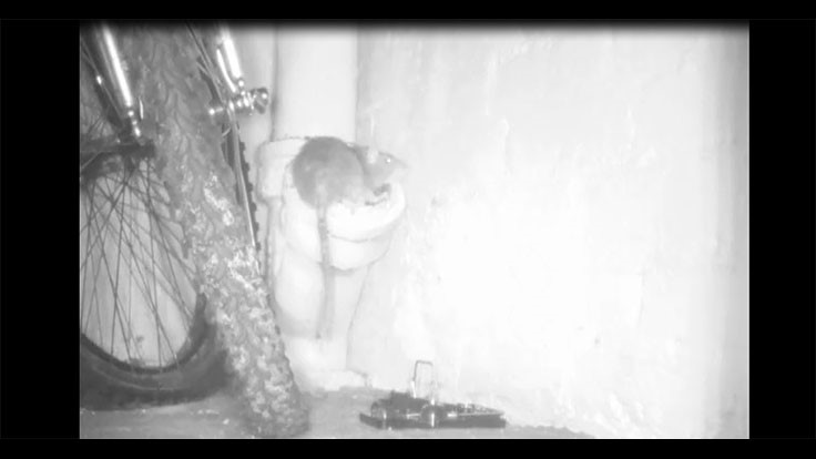 Video: Rat Uses Open Sewer Pipe to Gain Basement Entrance