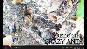 Video: Rise of the Crazy Ants