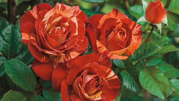 Celebrate Valentine's Day with roses