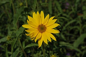 New Helianthus from Intrinsic Perennial Gardens