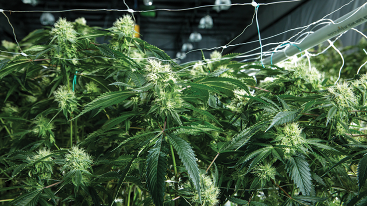 Shaping Tips for Professional Cultivators
