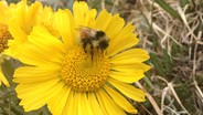 Bumblebees May Be Adapting to Increase Declining Populations, Researchers Say