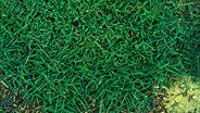 Crush crabgrass problems