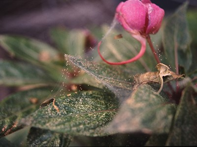 Suppressing twospotted spider mites