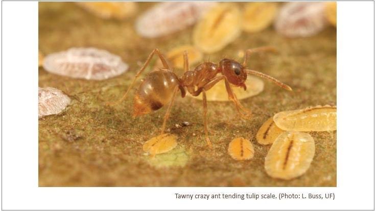 Tawny Crazy Ants Now in 23 Texas Counties