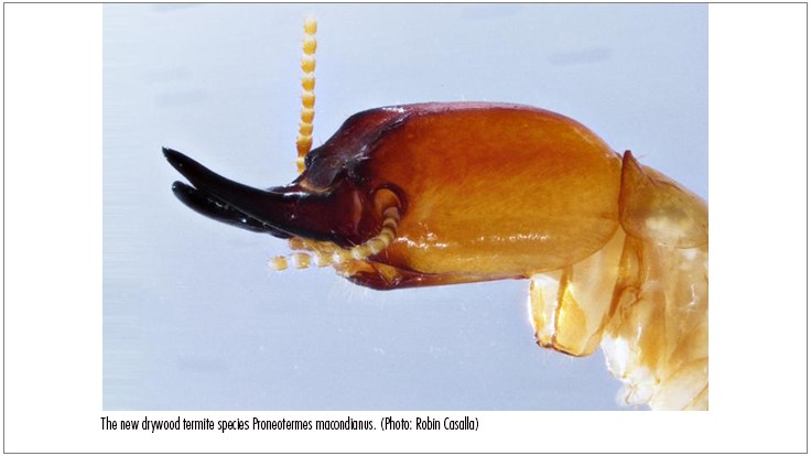 New Species of Termites Discovered After 100 Years