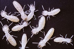 New Assay Helps Track Termites, Other Insects