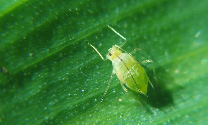 Scientists work to turn pests on pathogens