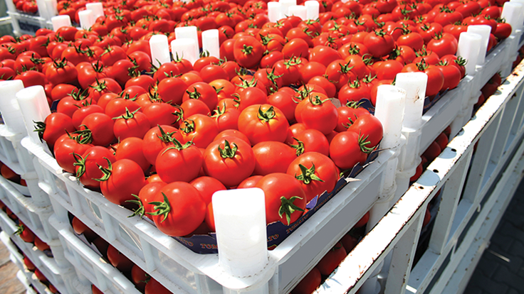 UF/IFAS researchers investigate what makes tomatoes tasty