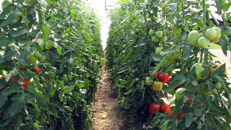 SARE grant expands UNH's high tunnel tomato research