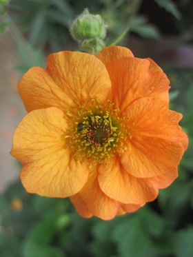 New Geum from PlantHaven