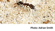 Trap-Jaw Ants Use Mandibles as Springboards to Escape Danger