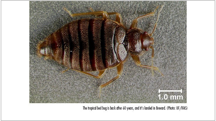 Tropical Bed Bug Reappears After 60-Year Absence