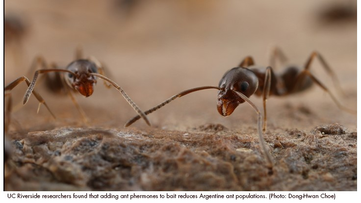 UCR Researchers Develop New Method to Stop Argentine Ants